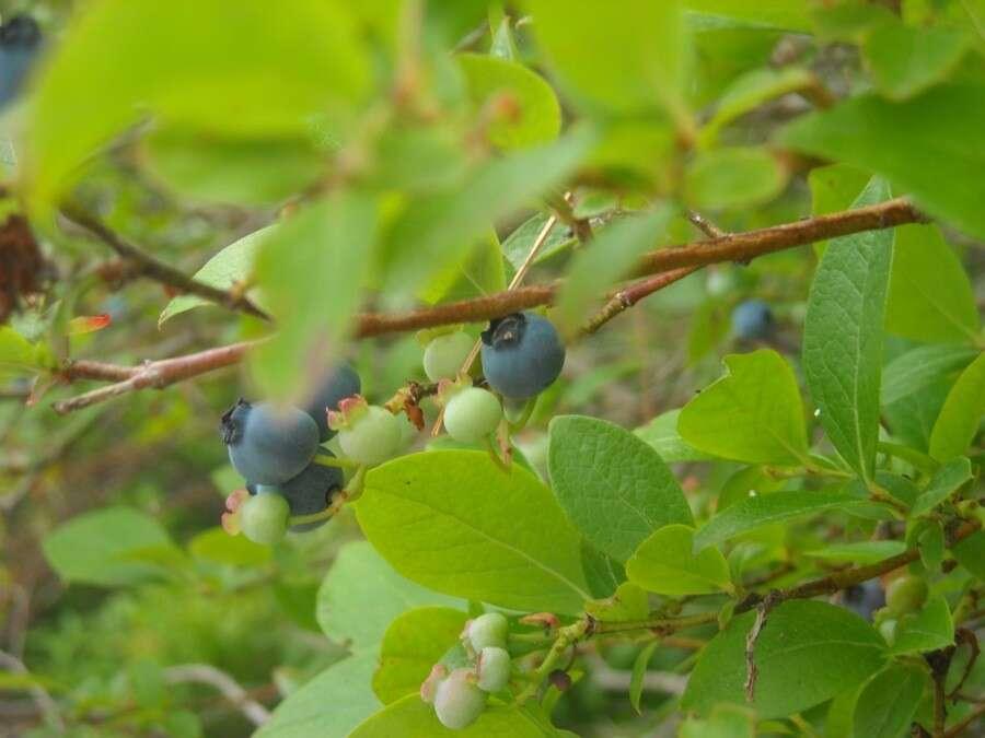Wild Blueberry Pie King Arthur Flour