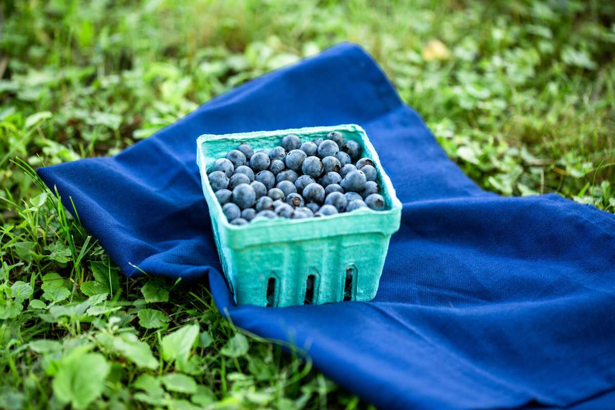 A pint of freshly picked blueberries on the grass with a blue linen