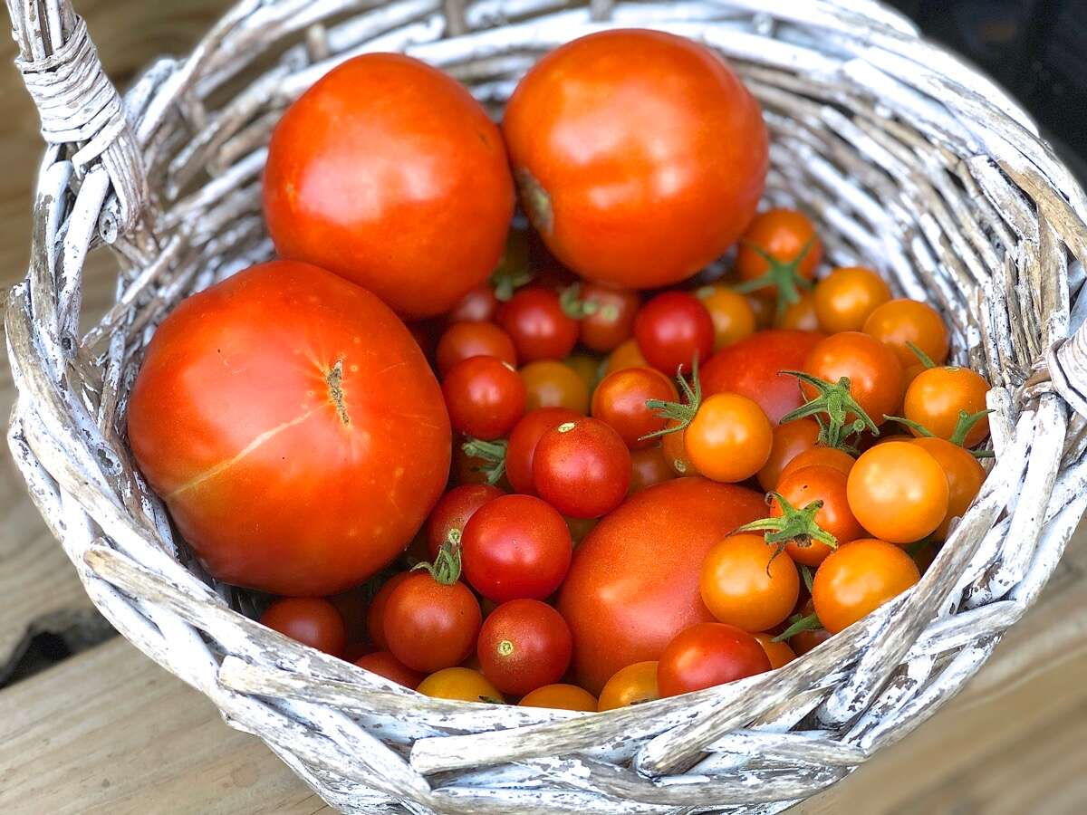 A basket of just-picked full-size and cherry tomatoes.