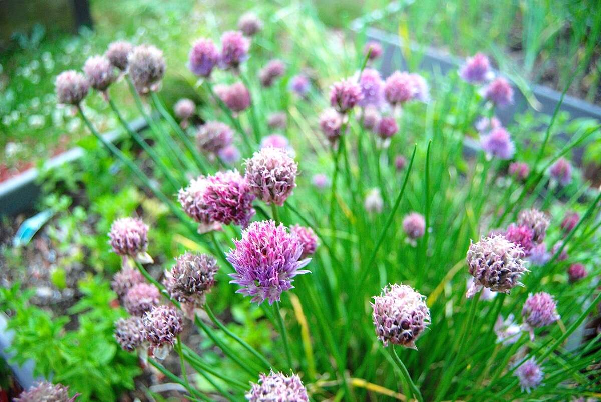 Chives and their purple blossoms growing in a garden.