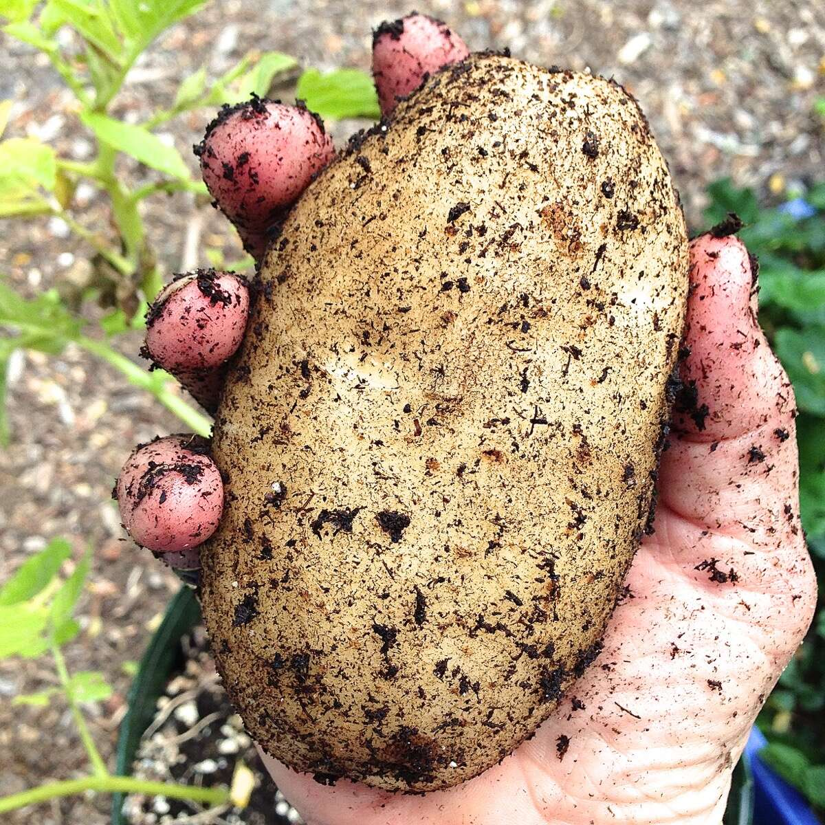 Hand holding just-harvested potato, still covered in dirt.