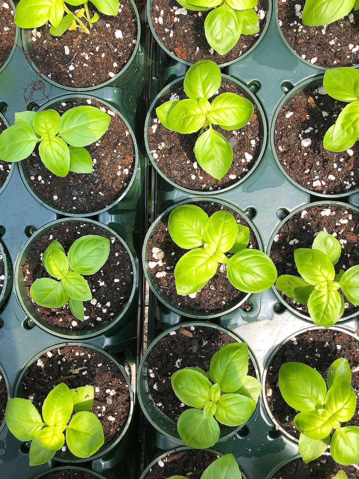 Basil seedlings in pots, ready to replant outdoors.