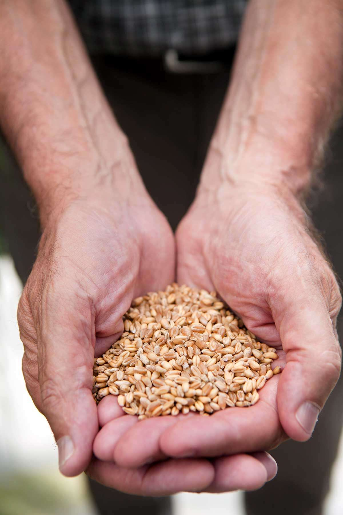 Hands holding grain