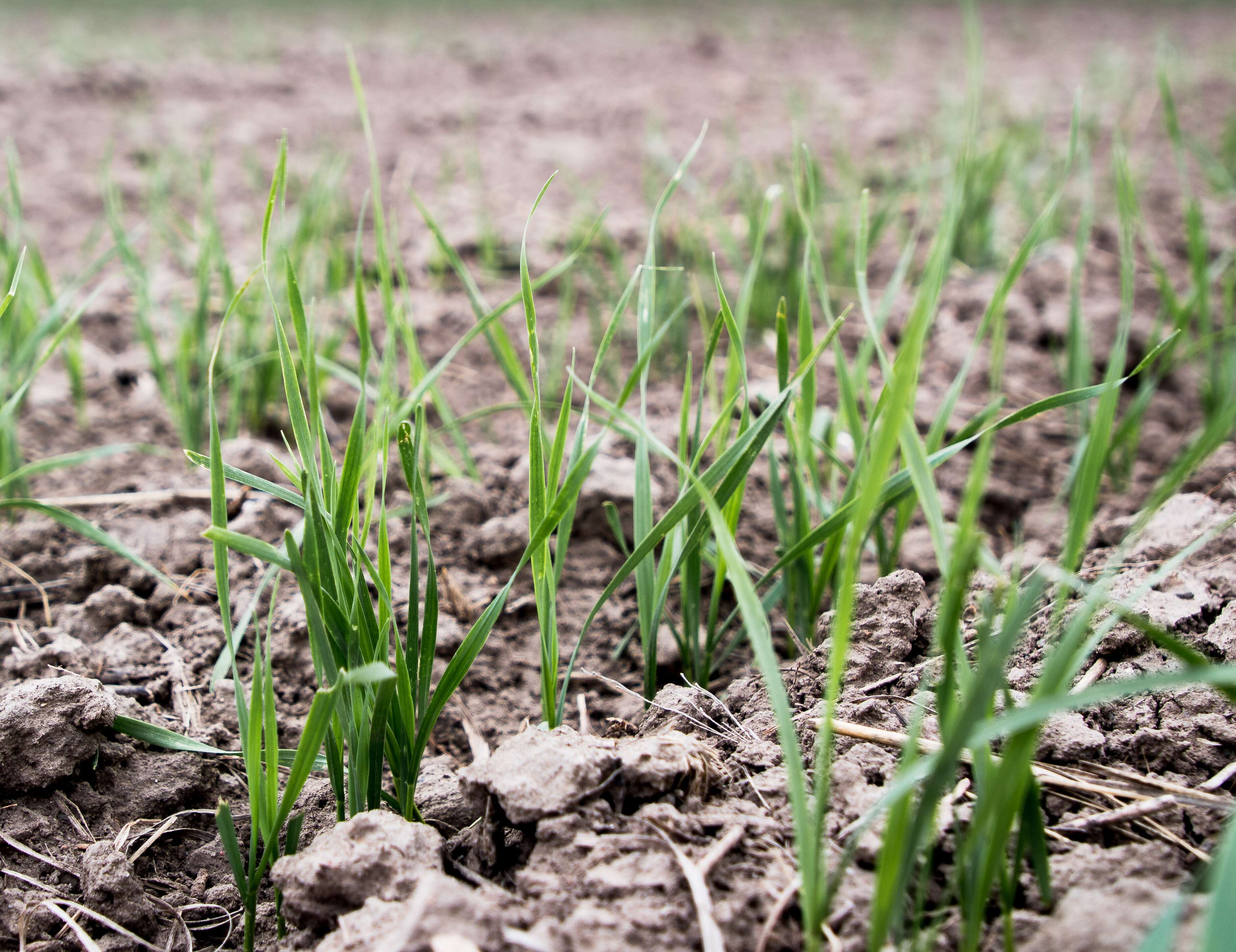 Young white winter wheat shoots emerge in Kansas